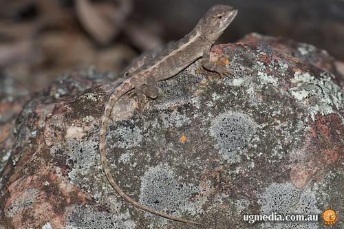 Mountain heath dragon (Rankinia diemensis)