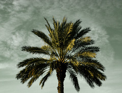 Palm Tree (ginfox) Tags: sky cloud brown white black tree green beach america blackwhite unitedstates florida south gray palm foliage treetrunk palmtree trunk