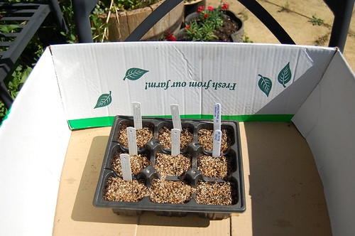 Potato seedlings need sunlight