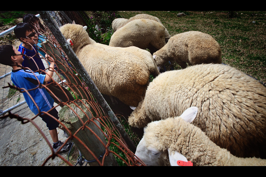 綿羊串場秀