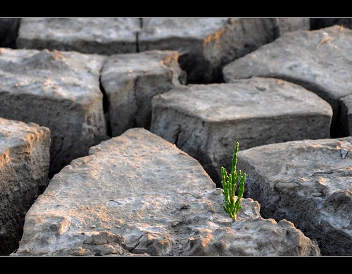 No Canyon Tree....but Salicornia plant in dry mud from the dredged harbour