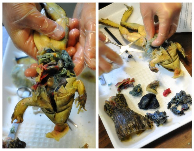 frog dissection (2)