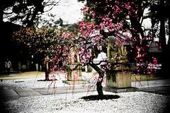 wabi (moaan) Tags: life leica garden 50mm shrine f10 kobe bloom mp noctilux 2008 ume rvp fujivelvia inbloom precincts leicamp japanism   fujirvp umetree inlife japanesestylegarden leicanoctilux50mmf10  gettyimagesjapanq1 gettyimagesjapanq2