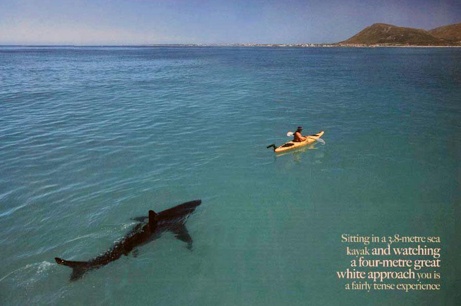 Great White Shark Following Kayak Poster My Desultory Blog