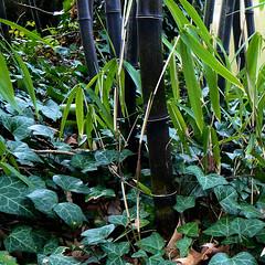 Parc de Maulévrier - Bambou nigra et lierre