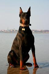 Diablo (Devilstar) Tags: dog beach outdoors bone collar dobermann