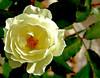 Flor (Pedro Cavalcante) Tags: flowers naturaleza flores flower nature fleur flora fuji natureza natur flor natuur natura finepix fujifilm blomma bunga 花 blume fiore blomst bulaklak hoa ua flore bloem lill פרח çiçek زهرة kwiat blodyn گل naturesfinest lule blom цвет cvijet λουλούδι cvet ดอกไม้ 6500 кветка gėlė květina kvetina цвете s6500 puķe फूल s6500fd floarea בלום fjura квітка bláthanna finepixs6500 finepix6500 pedrocavalcante kukkien virága