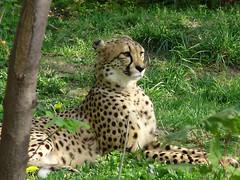 Gepard (Elisa1963  nature art peace) Tags: schnbrunn vienna wien fab animal fauna zoo austria gepard  naturesfinest acinonyxjubatus anawesomeshot impressedbeauty kunstplatzlinternational kunstplatzinternational
