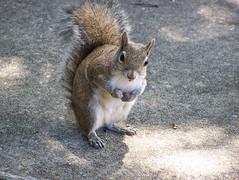 Squirrel Mama (Hawk 1966) Tags: macro nature animal closeup outdoors grey rodent squirrel florida critter gray melbourne cutie fl brevard