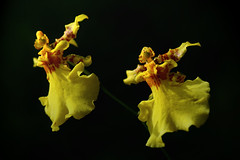 The Yellow Dancers (Jeremy-G) Tags: red black orchid flower macro nature yellow canon dancers angle flash perspective tamron 90mm f8 f28 strobe 400d