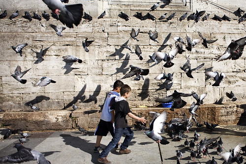 turkse duiven.jpg