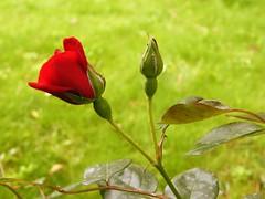 A tutti coloro che amano (salvatore mazza) Tags: flowers fuji natura fiori piante papo domenica naturalmente pietraligure
