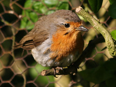 Robin (Mukumbura) Tags: bird nature robin fence garden outdoors erithacusrubecula wildlife feathers hedge redbreast mywinners