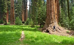 "It was like being in an ""Enchanted Forest!!"".jpg (YOSEMITEDONN) Tags: california nature beautiful amazing picturesque bigtrees kingscanyon enchantedforest watcher naturesfinest bej golddragon abigfave sequoianationlpark"