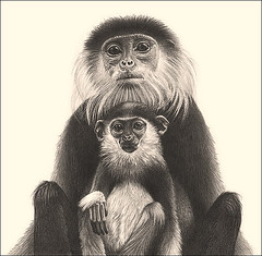 'Family Portrait' - Douc Langur Monkeys - Fine Art Pencil Drawings  www.drawntonature.co.uk (kjhayler) Tags: pictures blackandwhite art animal animals print asian zoo monkey photo southeastasia vietnamese image photos drawing wildlife picture drawings images naturalhistory vietnam ape prints monkeys endangered primate apes limitededition monkies monky primates animalart wildanimals animalprints wildlifeimages drawingpictures animalpictures wildlifeart douclangur wildlifephotography wildlifephotos animalphotos animaldrawings wildlifeartists naturepictures asianwildlife monkeyphotos monkeypictures monkeyimages imagemonkey wildlifeportraits photomonkeys monkeyphoto douclangurs wildpictures monkeypicture animalsmonkeys animalspictures wildlifeartist picturesofmonkeys wildlifedrawings drawingphotographs kevinhayler picturesmonkeys picturemonkey primatepictures monkeyimage imagesmonkeys pictureprimates monkeyphotographs monkeysphotos monkeyspictures monkeyprints photosmonkeys coqphuang