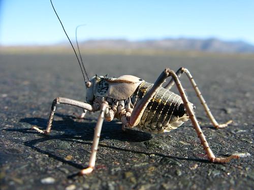 Massive cricket on the National Highway 312 between Shanshan and Sandaolin, Xinjiang, China