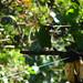 crimson rumped toucanet Ecuador September 2007 432