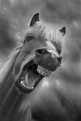 A funny face (Jokull) Tags: bw horse storm clouds canon wow island photo iceland funny joke evil photograph laugh bite topv 2008 sland grinn darksky icelandic jokull amazingshot goldenphotographer onephotoweeklycontest traveltoiceland ysplixblack plljkull cometoiceland
