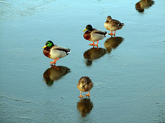 Walk on thin ice (Paul Anca) Tags: winter time national geographic nationalgeographic naturesfinest blueribbonwinner mywinners worldbest impressedbeauty aplusphoto ultimateshot theunforgettablepictures theperfectphotographer rubyphotographer iwishidtakenthat damniwishidtakenthat wishitookthat lpwinter lpbirds