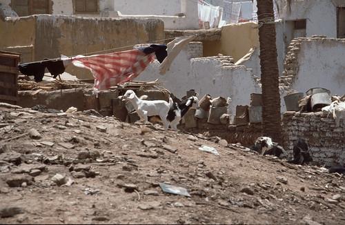 Ziegen in Assuan
