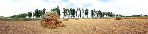 Harvested wheat near Minluo, Gansu Province, China