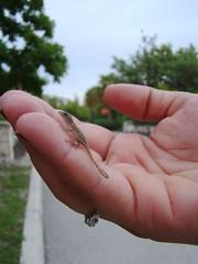 Wee little lizard