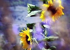 I saw it in my dreams (Alieh) Tags: flower yellow persian iran persia sunflower iranian      aliehs alieh