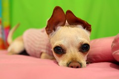 Brisa Marina ( Wee Rainbow Girl  Nay Paul ) Tags: dog pet chihuahua animal puppy perro cachorro mascota domestico