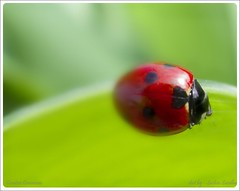 .wake up. (.sandhu) Tags: pink red india macro green nature up lady canon bug wake dof close september spots punjab sadiq motionless kot jalandhar photoscape a720is