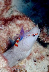 Violet Boxer Shrimp riding on Moray Eel (hirosh!ndia) Tags: sea nature coral aka underwater violet shrimp tropical scubadiving okinawa morayeel kerama nishibama violetboxershrimp