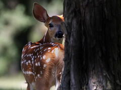 Precious Moment (Random Images from The Heartland) Tags: chris nature southdakota deer fawn bailey chrisbailey mntncphotocontest chrisbaileyimages