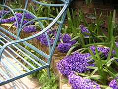 Bench and blue hyacinths at Hidcote Manor Gardens (Katie-Rose) Tags: uk green metal bench cotswolds gloucestershire nationaltrust artsandcrafts hidcote katierose hidcotemanorgardens hidcotebartrim goldenbee seeninexplore gardenrooms fbdg konicaminoltadimagex20 bluehyacinths majorlawrencejohnston