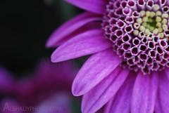 JUST A FLOWER (AL-SHAIJY) Tags: pink flower macro sigma s just half kuwait hamad q8            alshaijy alshaiji alshayji