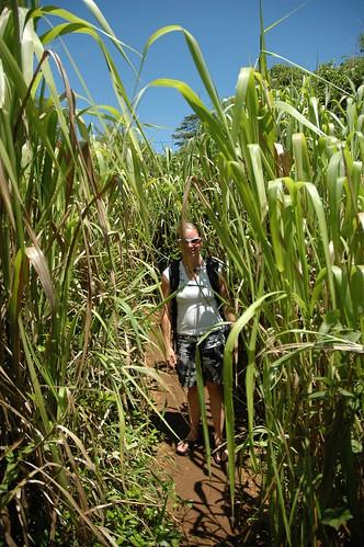 Kauai - Kipu - Sugar Cane Field