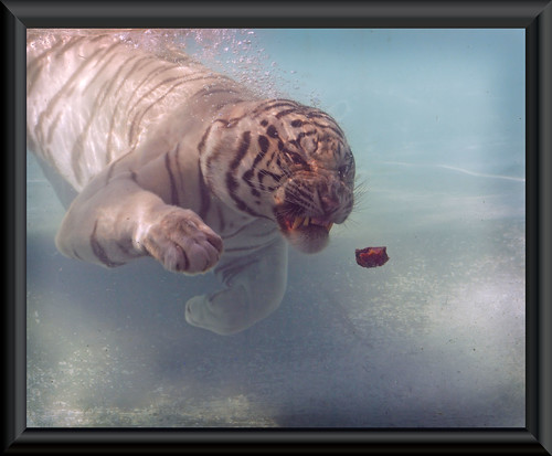 diving White Tiger / Tigre blanco buceando