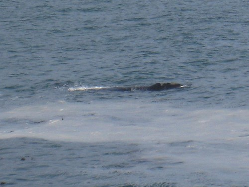 Southern right whale!