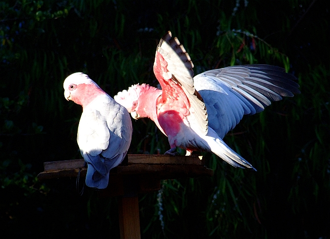 male and female galah