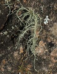 Usnea hirta 'Bristly Beard Lichen' (dougwaylett) Tags: wild canada native alberta lichen usnea fruticoselichen usneahirta brownloweryprovincialpark bristlybeardlichen