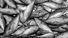 Just fishes (Alyxandco) Tags: sea blackandwhite bw mer india fish black pez texture textura nature animal mar blackwhite fishing asia natural noiretblanc natureza nb peixe beast asie poisson bete pesca tamil peche tamilnadu atun inde southindia mahabalipuram mamallapuram noirblanc atum thon aspecto pche sia tunafish aspect atn ndia bte skipjack bonite whiteblackwhite indedusud lementnaturel alexandrebougs alyxandco alyxandcohotmailcom alexandrebouges