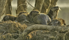 Love them Otters (digiphotonut) Tags: family nature animals wildlife indiana otters oxbow riverotters otterfamily