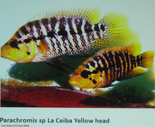 Parachromis sp. 'La Ceiba Yellow head'