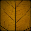 Dead leaf (manganite) Tags: old autumn brown color macro fall texture nature leaves lines closeup digital germany square geotagged leaf maple nikon colorful europe bonn pattern tl decay framed curves dry d200 minimalism nikkor dslr simple cells 50mmf18 diagonals northrhinewestphalia closeuplense saesons utatafeature manganite nikonstunninggallery minimalsitic gluckstrasse repost1 date:year=2008 gluckstrase date:month=november date:day=9 geo:lat=50733259 geo:lon=7090127 format:orientation=square format:ratio=11