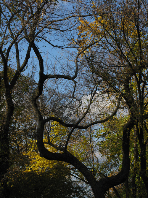 a shapely tree in Central Park, Manhattan, NYC