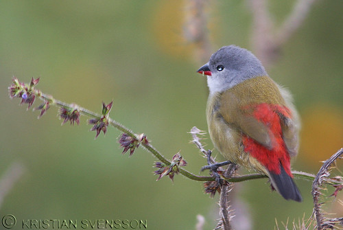 Yellow-bellied Waxbill (Coccopygia quartinia) by macronyx.