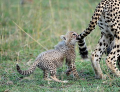 2. Gotcha (Lyndon Firman) Tags: cub searchthebest kenya bbc cheetah shakira masaimara acinonyxjubatus blueribbonwinner specanimal specanimalphotooftheday impressedbeauty bigcatlive