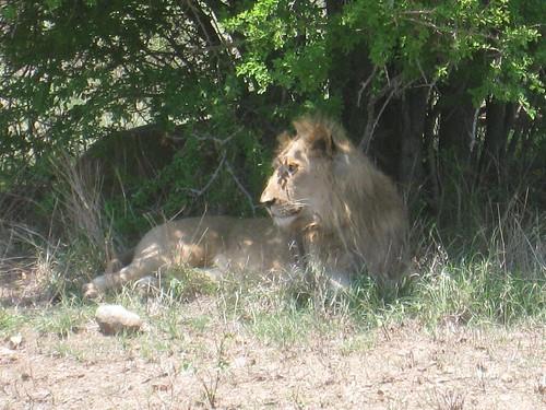 Kruger Park lion