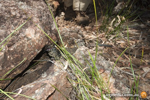 Lace monitor (Varanus varius)