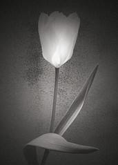 Tulip (artblackandwhite) Tags: flowers blackandwhite bw stilllife macro floral studio botanical platinum limitededition palladium largeformat artprint contactprint digitalnegative altprocess alternativeprocesses paradisi lucaparadisi fineartplatinum