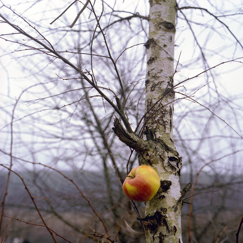 Who has told, what apples do not grow on a birch?