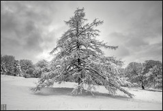 my real christmas tree! (gregor H) Tags: christmas xmas trees winter bw snow nature backlight landscape bravo christmastree liechtenstein whitesnow larch darkclouds balzers thesecretlifeoftrees vosplusbellesphotos